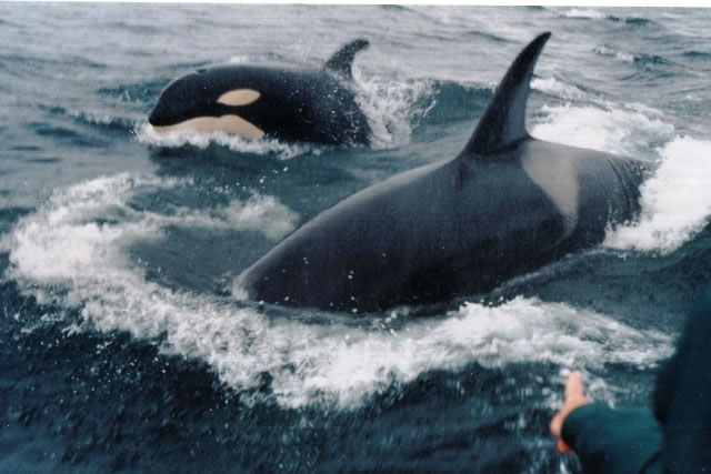 Quirpon-orcas-by-ferry-to-island_jpg