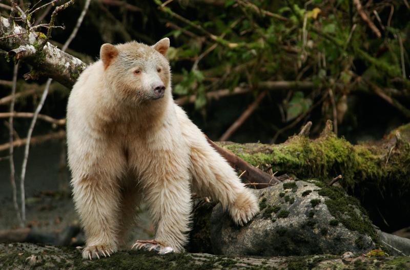 BWA_Spirit-Bear-Marni-Grossman-2010