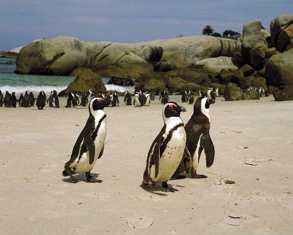 Penguin-Colony2