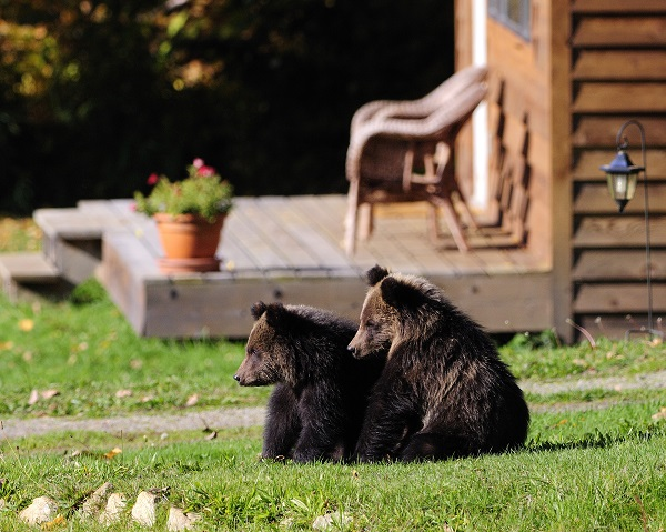 3.-Grizzly-Bear-cubs-photo-Mike-Wigle-1-kl