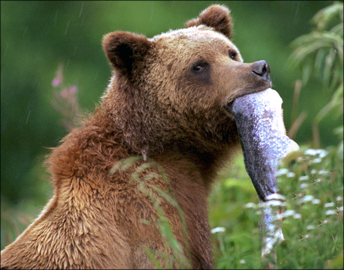 Grizzly-with-silver-salmon-photo-Mike-Wigle